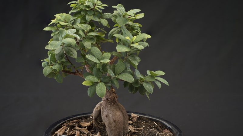 Take Proper Care Of Your Bonsai Tree